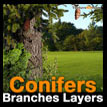 Conifer branches layers Conifere